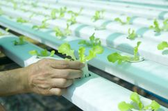 Wasserkultursalate im Garten Thailand Lizenzfreie Stockbilder