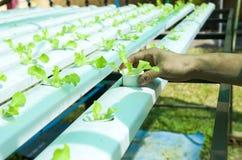 Wasserkultursalate im Garten Thailand Stockfotografie
