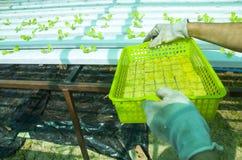 Wasserkultursalate im Garten Thailand Stockfotos
