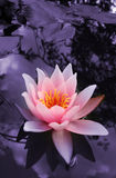 Wasserlilie Stockfotografie