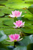 Wasserlilie stockfotos