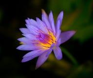 Wasserlilie Stockfoto
