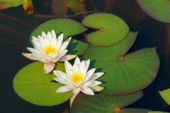 Wasserlilie Lizenzfreie Stockfotos
