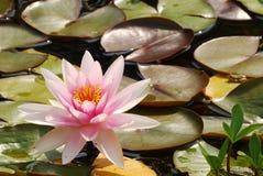 Wasserlilie Lizenzfreies Stockbild