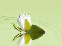 Wasserlilie Lizenzfreies Stockfoto