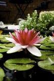 Wasserlilie in einem Teich Lizenzfreies Stockfoto