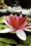 Wasserlilie in einem Teich Lizenzfreie Stockfotos
