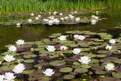 Wasserlilie im Teich Stockbild