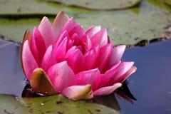 Wasserlilie im Teich Lizenzfreie Stockbilder