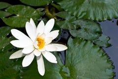 Wasserlilie im Teich Lizenzfreie Stockfotos