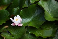 Wasserlilie mit weißer und rosafarbener Blüte Lizenzfreies Stockbild