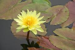 Wasserlilie und -es sind Reflexion Stockfotos