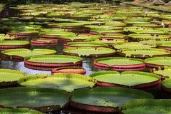 Wasserlilie Wiktoria regia Fotografia Royalty Free