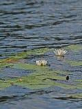 Wasserlilien Lizenzfreies Stockfoto