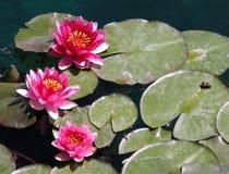 Wasserlilien Stockbilder