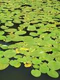 Wasserlilien Stockbild