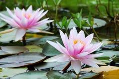 Wasserlilien Lizenzfreie Stockbilder