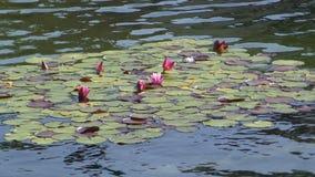Wasserlilien in einem See stock footage
