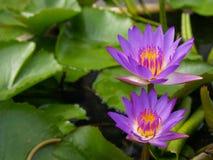 Wasserlilien im Teich Stockfoto
