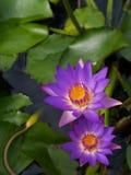 Wasserlilien im Teich Stockbild