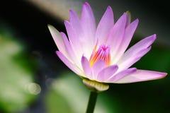Wasserlilienabschluß oben Stockfoto