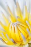 Wasserlilienblume Stockfotos
