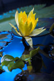 Wasserlilienblumen Stockfotografie