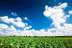 Wasserlilienhimmel Stockfoto