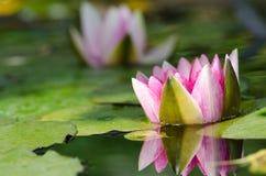 Wasserlilienhintergrund Lizenzfreie Stockfotografie