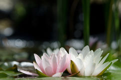 Wasserlilienhintergrund Stockfoto