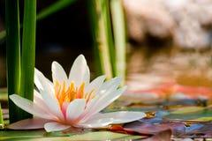 Wasserlilienhintergrund Lizenzfreies Stockbild