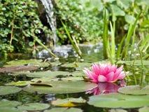 Wasserlilienhintergrund Stockbilder