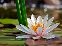 Wasserlilienhintergrund Stockbild