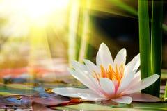 Wasserlilienhintergrund Lizenzfreie Stockbilder