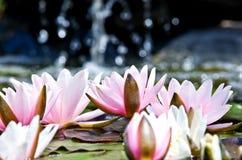 Wasserlilienhintergrund Lizenzfreies Stockfoto