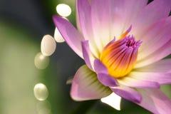 Wasserlilienmakro Stockfotografie