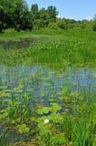 Wasserliliensumpf Stockfotografie