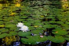 Wasserlillies und -Travertine auf Fluss stockbild