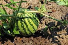Wassermelone auf dem grünen Melonen-Feld Stockbilder