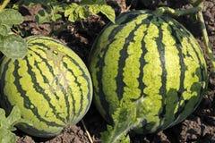 Wassermelone auf dem Wartec$ernten des grünen Feldes Stockfotos
