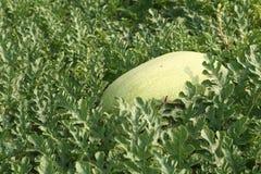 Wassermelone auf den Gebieten Stockfotografie