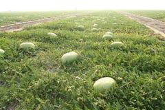 Wassermelone auf den Gebieten Stockfoto