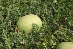Wassermelone auf den Gebieten Stockfotos