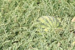 Wassermelone auf den Gebieten Stockbilder