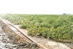 Wassermelone auf den Gebieten Lizenzfreie Stockfotos