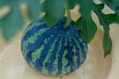 Wassermelone auf einer Niederlassung Lizenzfreie Stockbilder