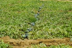 Wassermelone bewirtschaftet, wollige Citrullus, wildes Leben-Schongebiet Nagzira, Bhandara, der nahe Nagpur, Maharashtra lizenzfreies stockfoto