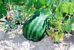 Wassermelone, die auf dem Gebiet wächst Stockfotografie