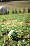Wassermelone am grünen Feld Stockfotografie