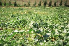 Wassermelone am grünen Feld Lizenzfreie Stockfotografie